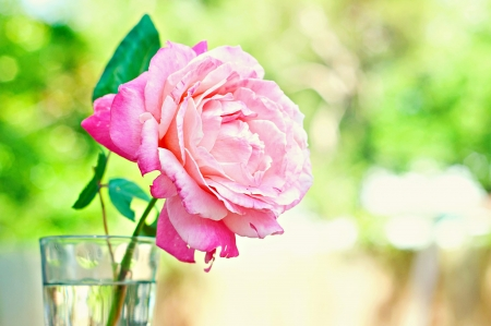 Beautiful pink rose in vase with water Imagens