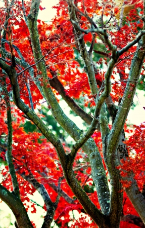 Japanese Maple Tree with Leaves