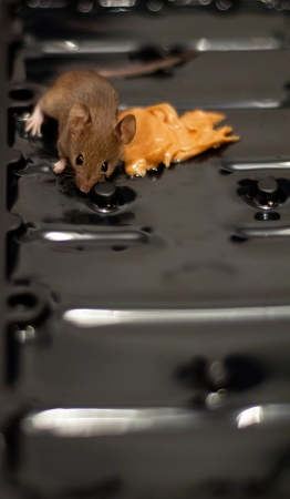 Small Mouse with peanut butter on glue trap  rodent was removed from trap and released  Stock Photo - 16530188