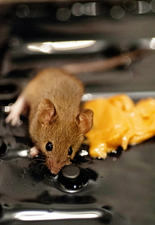 Small Mouse with peanut butter on glue trap  rodent was removed from trap and released Stock Photo - 16530200