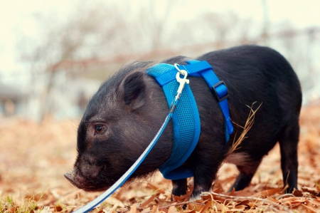 Pot bellly pig on leash photo