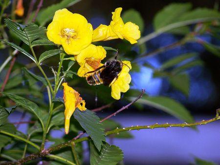 Bee in Yellowbells. Фото со стока