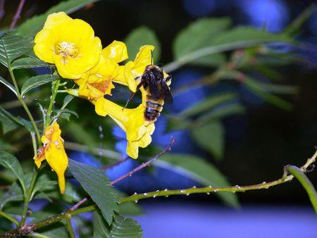 Bee pollinating Yellowbells.