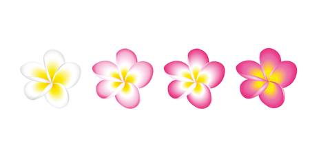 plumeria frangipani flower blossom white and pink set isolated on white background vector illustration EPS10 Illustration