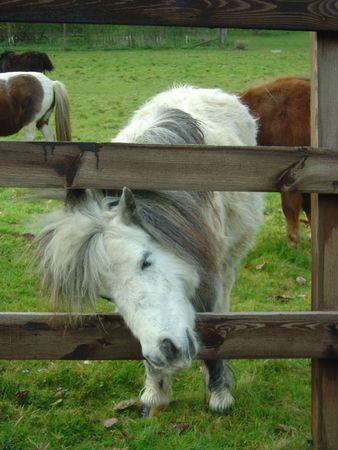 shetland pony: A white Shetland pony poking its head through the fence