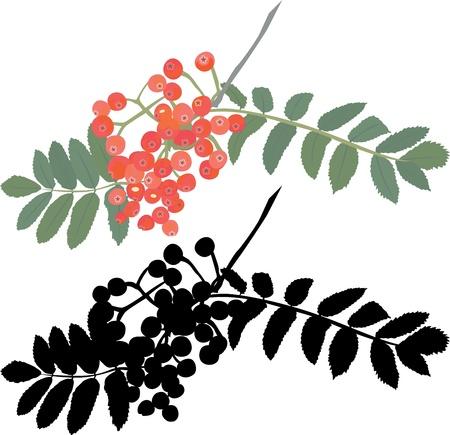 Vogelbeere: Herbst Vogelbeere Zweig Illustration