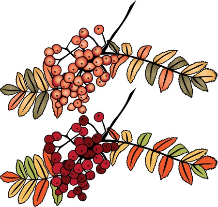 rowan: Autumn rowan berry branch in two variants Illustration