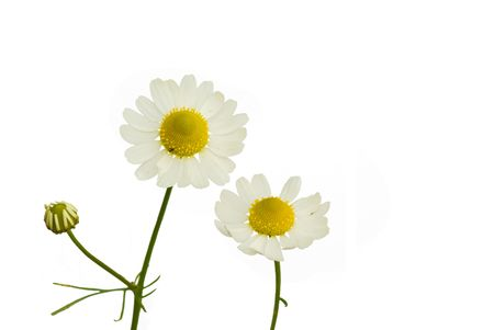 matricaria recutita: Camomile (Matricaria recutita) on the white background