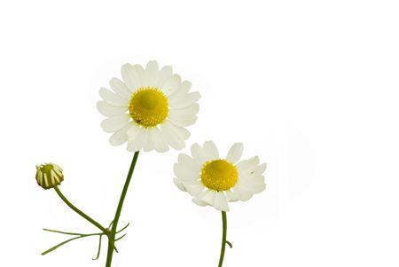 chamomilla: Camomile (Matricaria recutita) on the white background