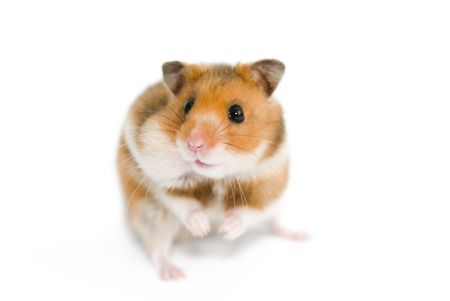 Syrian hamster with the filled cheek