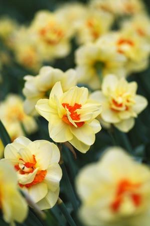 narcissus garden  Stock Photo - 8740745