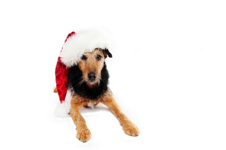dogie: Christmas dog