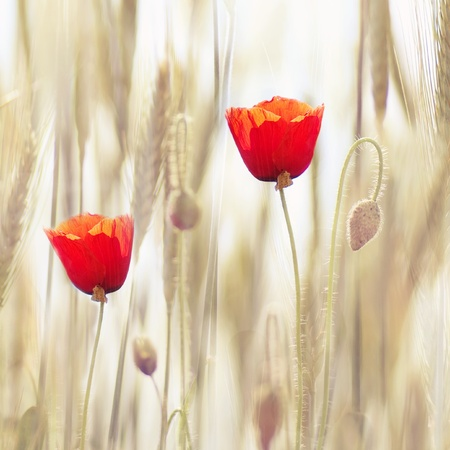 Poppies photo