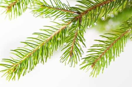 Branch of the fir tree with waterdrops Stock Photo