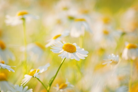 Wild daisies in a meadow at sunset