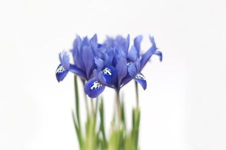 blue iris Stock Photo - 11241340