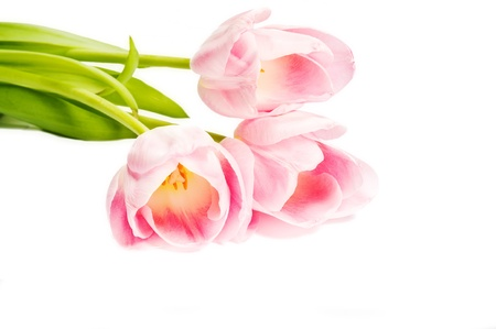 pink tulips Stock Photo - 12854249