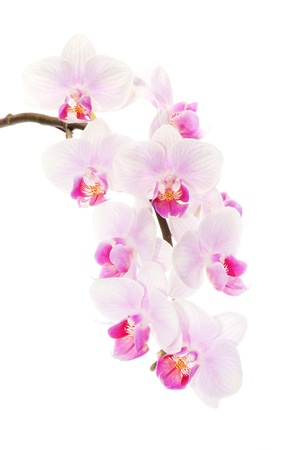 pink orchid on the white background Stock Photo - 12854265