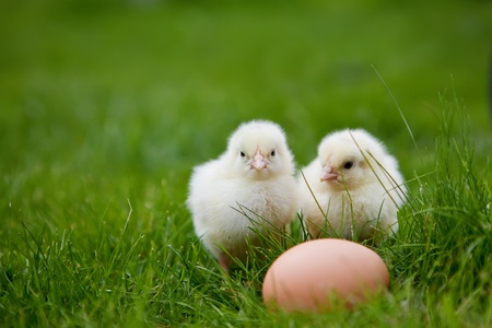 two little chicken and egg on the grass photo