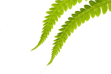 fern on the white Stock Photo