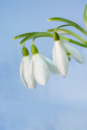 first spring flowers - snowdrops (Galanthus nivalis)  Stock Photo - 15813082
