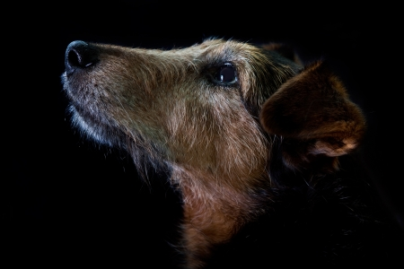 portrait of the old dog