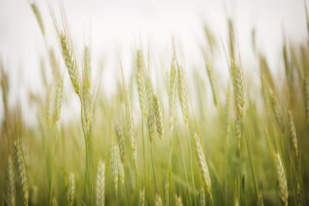 harvest field: Corn Stock Photo