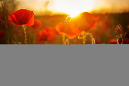 beautiful poppies meadow at sunset Stock Photo