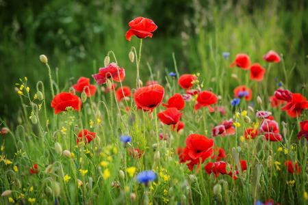 beautiful poppies meadow