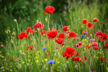 beautiful poppies meadow