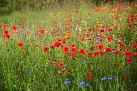 summer meadow 写真素材