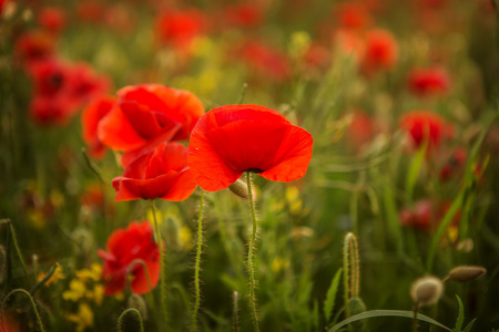 beautiful poppies meadow at sunset 写真素材