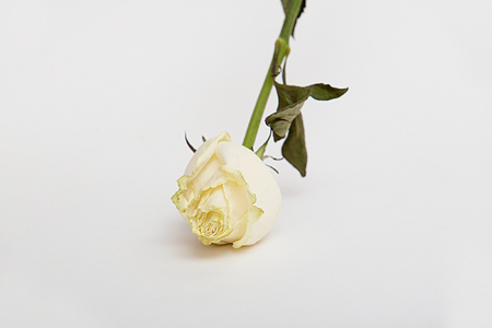 Dried rose flower with leafs isolated over white