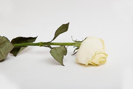 말린 된 장미 꽃 leafs 통해 격리 된 화이트