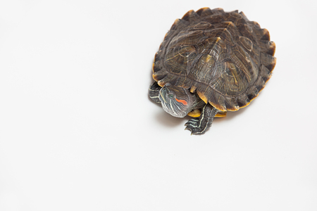 ugliness: One sea red-eared sliders Stock Photo