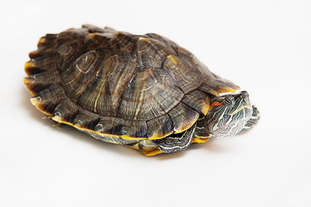 One sea red-eared sliders Stock Photo
