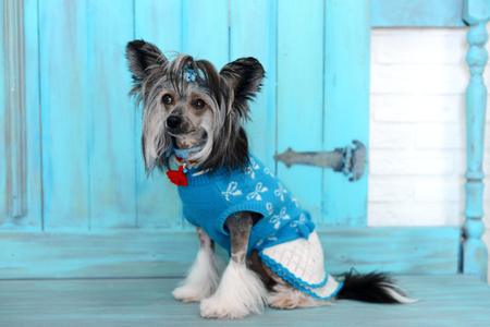 dog in clothing on blue wooden vintage background