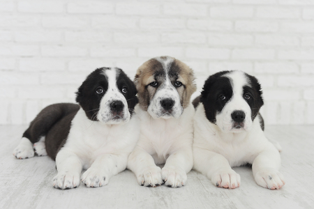 English bulldog puppies playing in Studio on white background