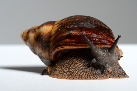 big snail close-up in the Studio Stock Photo