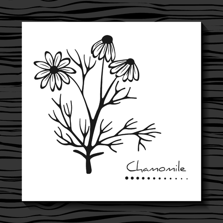 chamomile: Chamomile on a white background. Sketch.  Chamomile branch. Vector illustration.  Hand drawn chamomile.