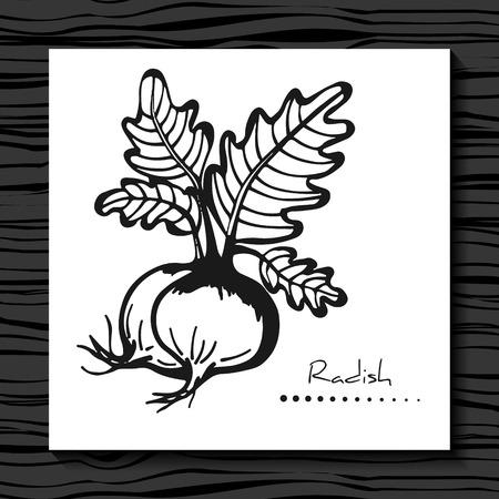 radish: Radish on a white background. Sketch.  Vector illustration.  Hand drawn radish. Radish Isolated. Label with a picture of radish.