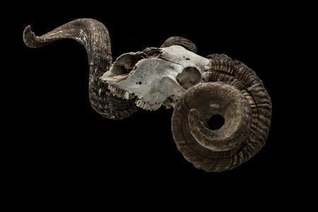 carnero: Ram cráneo con gran cuerno aislado sobre fondo negro.