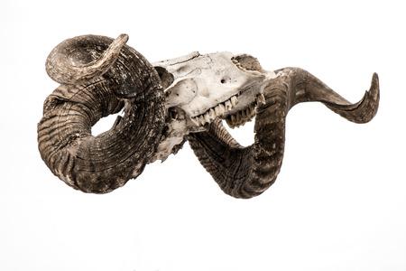 carnero: Ram cráneo con gran cuerno aislado sobre fondo blanco. Foto de archivo