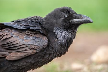 cuervo: Retrato negro del cuervo aislado en verde natural. Foto de archivo