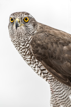 merlin falcon: Borwn hawk portrait isolated on white background Stock Photo