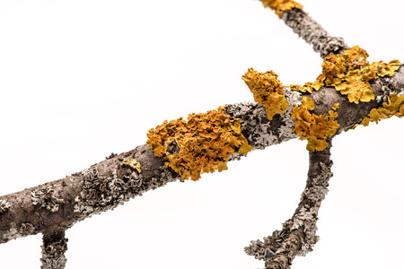 symbiotic: Lichen on a tree branch isolated on white background.