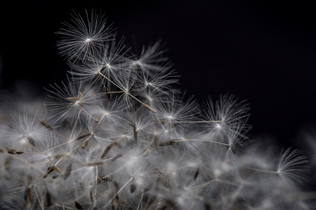pappus: Dandelion Seeds. Many dandelion seeds closeup feather flower. Stock Photo