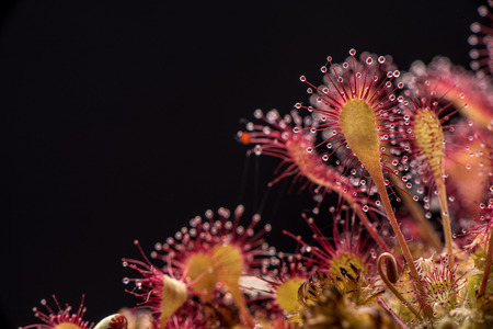 insectivorous plants: Sundew Drosera lives on swamps insects sticky leaves.