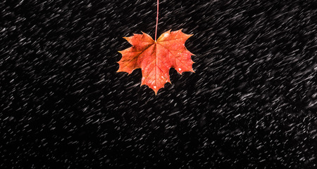 heavy effect: Falling raindrops to maple leaf on black background.