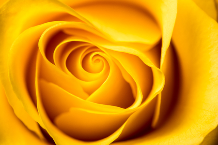Yellow rose petals closeup.